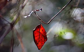размытость, ветка, красный, лист, блики