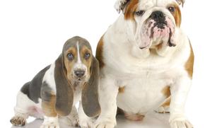 Bulldog Inglés, basset, Perro