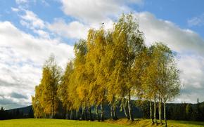 Birch, boschetto, foresta, autunno, collina, abete rosso