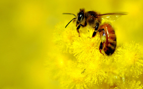 yellow, bee, blur, Flowers, background