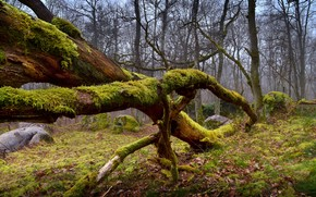 floresta, árvores, pedras, musgo, natureza