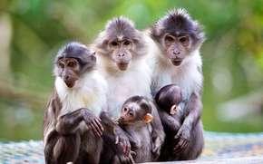 малыш, природа, обезьяны, макаки, мама