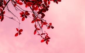 макро, розовый, фон, широкоформатные, дерево, деревья, ветки, ветка, листочки, красный, обои, широкоэкранные, листья, полноэкранные