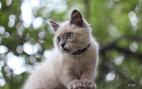 bokeh, Siamese, gattino, dagli occhi azzurri, gatto, sull'albero