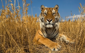 Amur, tiger, Siberian Tiger, Russia