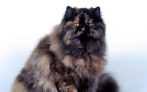 кошка, персидская, черепаховая