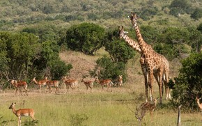 природа, деревья, животные, трава, жирафы