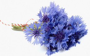 fondo blanco, acianos, flor, knapweed, azul, azul, ramo
