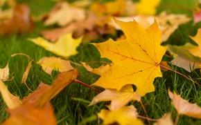 wallpaper, fullscreen, yellow leaves, autumn, autumn wallpaper, Macro, Widescreen, leaflet, leaves, Widescreen, foliage, leaves, leaflet, background