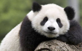 teddy-bear, Giant Panda, Giant Panda Cub, China