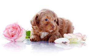 rosa, cane, Petali, Fiori