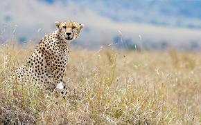 взгляд, Кения, гепард, дикая природа