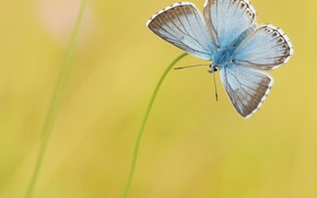 background, yellow, grass, Blue, butterfly