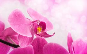 flor, tallo, orquídea, rosa, Pétalos, fondo