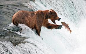 bear, river, FISHING, FISH, FLOW