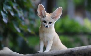 fox, orecchie, visualizzare, Fenech, museruola, grande, fox