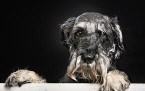 взгляд, собака, пёсик, ванна, Мокрый портрет, друг