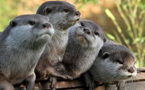 four, otter, gray, watch, Otters