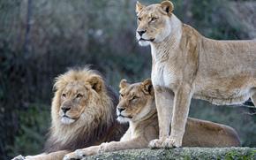 Lions, Famiglia, leonessa, gatto, leone