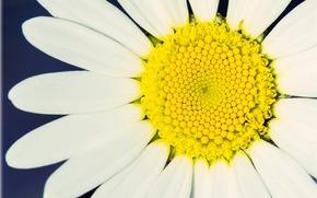 Pétalos, flor, fullscreen, amarillo, florete, manzanilla, blanco, fondo, Widescreen, Widescreen, Macro, papel pintado