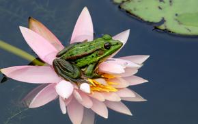 вода, лист, цветок, природа, лягушка