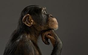 обезьяна, модель, шимпанзе, настроение