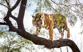 хищник, тигр, суматранский, дерево