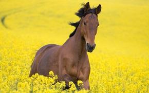 лошадь, желтый, поле, конь, цветы
