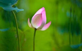 sfondo, ROSA, fogliame, fiore, loto