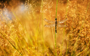 dew, blade, glare, panicle, grass, drops, dragonfly