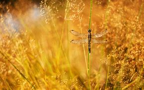 роса, травинка, блики, метелки, трава, капли, стрекоза