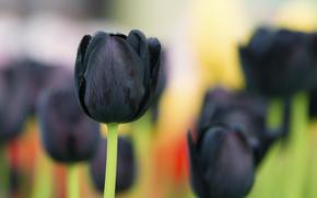 фон, чёрный тюльпан, макро