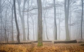 forêt, arbres, brouillard