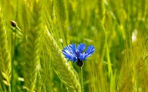campo, mazorcas de maíz, flor, knapweed