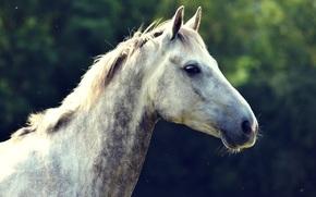 профиль, грива, голова, лошадь, морда, конь