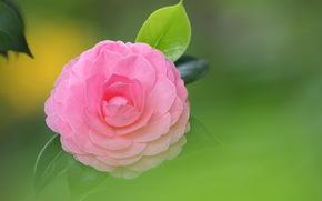 камелия, розовый, цветок, фон, листья