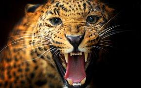 черный фон, окрас, леопард, взгляд, усы, животное, пасть, кошка, клыки