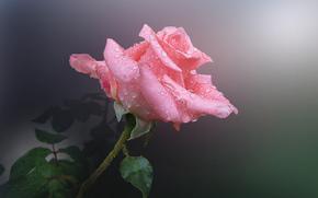 роса, капли, роза, цветок, розовый