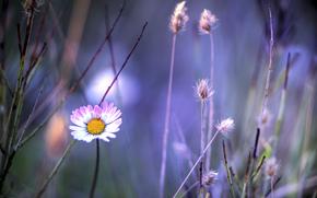 цветок, ромашка, бело-розовый, травинки, растения