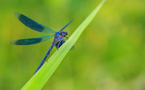 трава, лист, стрекоза, голубая