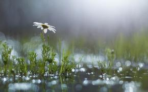 лужа, цветок, блики, ромашка, после дождя, трава