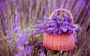 Kwiaty, lawenda, koszyk