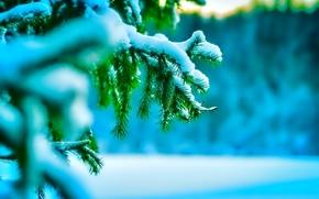 Macro, nature, winter, snow, needles, sprigs, fir-tree, cold