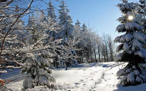 nevicata, inverno, natura, abete rosso, tracce, foto, alberi