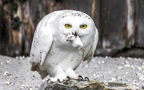 ptak, Sowa śnieżna, Sowa śnieżna