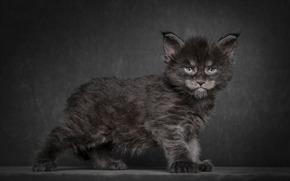 background, COTE, kitten, black, Maine Coon