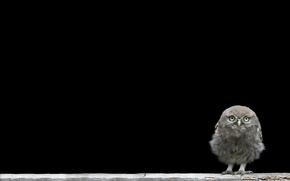 owlet, background, chick