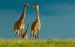 girafes, ciel, faune