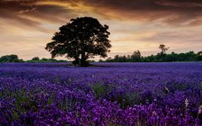 tramonto, campo, alberi, lavanda, paesaggio