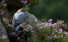falcon, erba, predatore, pietre, Fiori, uccello
